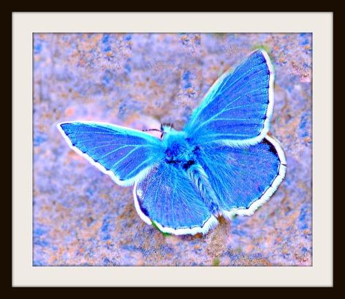 Bluebutterflyframe